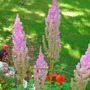 lavender Astilbe (Astilbe arendsii (Astilbe Colour Magic))