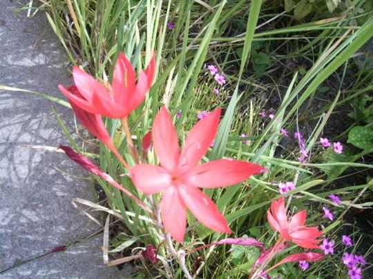 Kaffir lily (Schizostylis coccinea (Kaffir Lily))