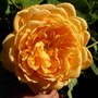 David Austin rose 'Golden Celebration' (Rosa 'Golden Celebrations')