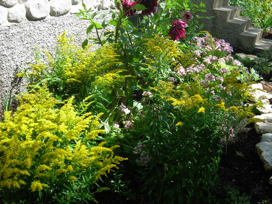 Golden Rod (Solidago canadensis (Canadian Golden Rod))