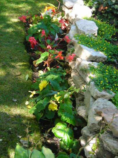 My Begonia bed 2