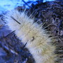 This is the larva of the Tussock Moth