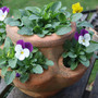 Pot of violas