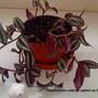 Tradescantia potted up 2009-09-14 002.jpg (Trandescantia Zebrina)