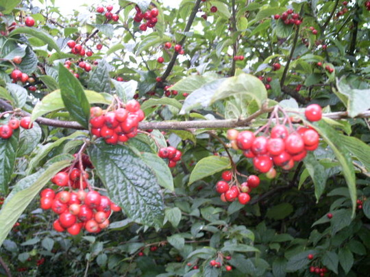 cotoneaster berries (Cotoneaster lacteus (Late Cotoneaster))