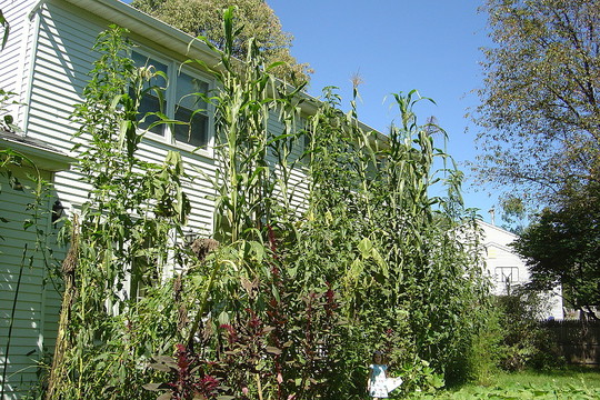 Giant amaranth and tropical corn along the back of the house