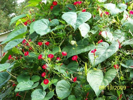 Cardinal Vine & Moon Flower Vine