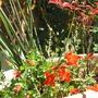 Epilobium californica cana Mattole Select