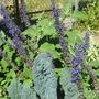 Mystic Spires Salvia (Salvia longispicata x farinacea)