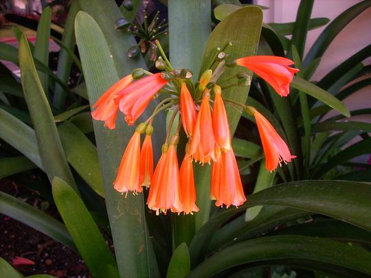 Clivia miniata - Clivia, Kaffir Lily (Clivia miniata - Clivia, Kaffir Lily)