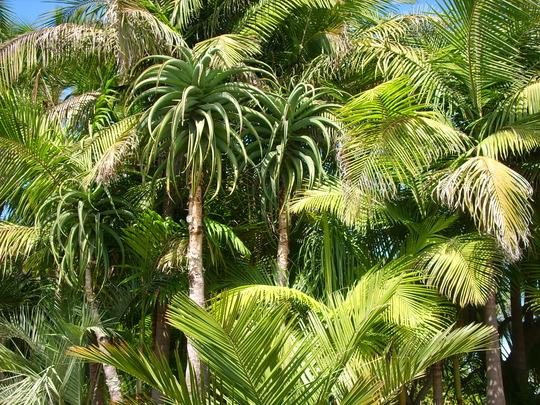 Aloe thraskii - Coast Tree Aloe (Aloe thraskii - Coast Tree Aloe)