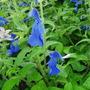 Salvia Patens (Salvia patens (Sage))