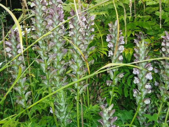 Acanthus (Acanthus spinosus (Bear's breeches))