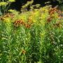 Helenium 'Autumnal Sunshine Hybrids' (Helenium autumnale (American Sneezeweed))