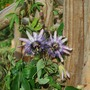Passion Flower on Arch