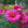 Terrace_Gardens_Cultivated_flowers.jpg (Aster novae-angliae (New England aster))