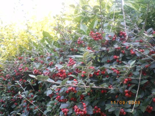Cotoneaster (Cotoneaster horizontalis (Cotoneaster))