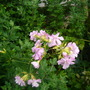 Saponaria_officinalis_rosea_plena_13.9.9