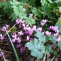 Cyclamen neapolitanum (Cyclamen neapolitanum)