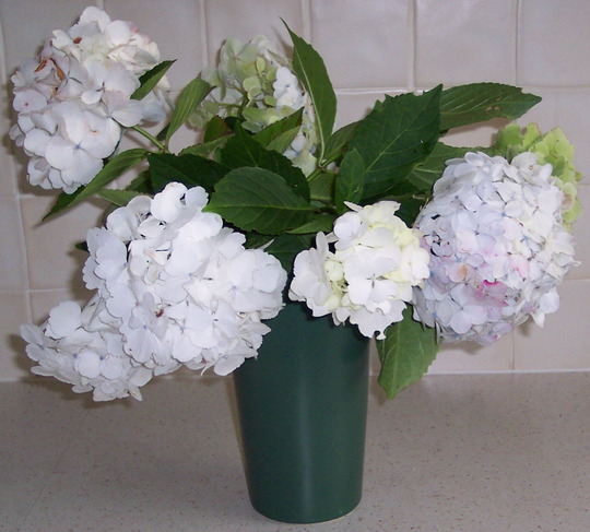 A bunch of hydrangeas from my garden