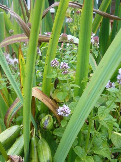 Water mint (Mentha aquatica (Watermint))