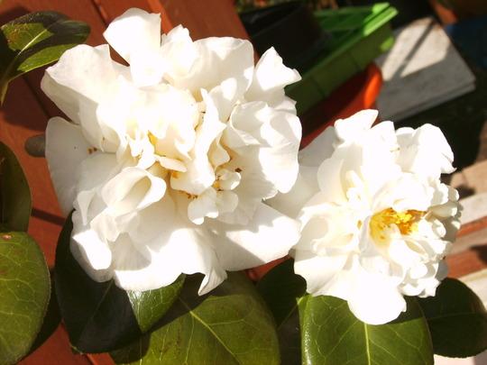Camellia 'Carlyon' (Camellia e.t.r. 'Carlyon')