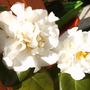 Camellia e.t.r. 'Carlyon'