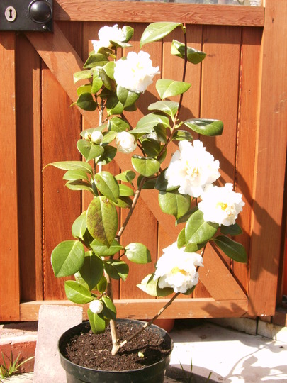Camellia e.t.r. 'Carlyon' (Camellia e.t.r. 'Carlyon')