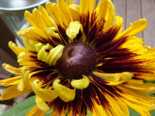 RUDBECKIA (Hirta Sonora Cone Flower)