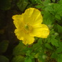Meconopsis (Meconopsis cambrica (Double Welsh Poppy))