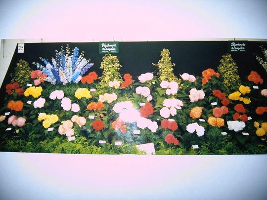 Shrewsbury Flower show - pre digital camera! (Begonia)