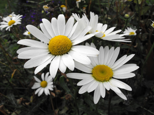 Oxeye Daisys  (Leucanthemum vulgare)