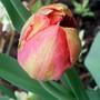 orange/pink Tulip