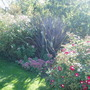 Phormium and ground cover roses (Rose)