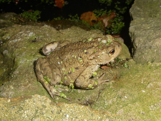 Toad for Pansypotter