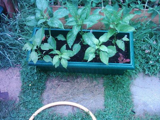 Bell Peppers (Capsicum annuum)