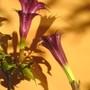 Datura - Blackcurrant Swirl (Datura innoxia (Angels Trumpet))