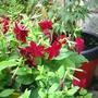 Dark red tobacco flowers