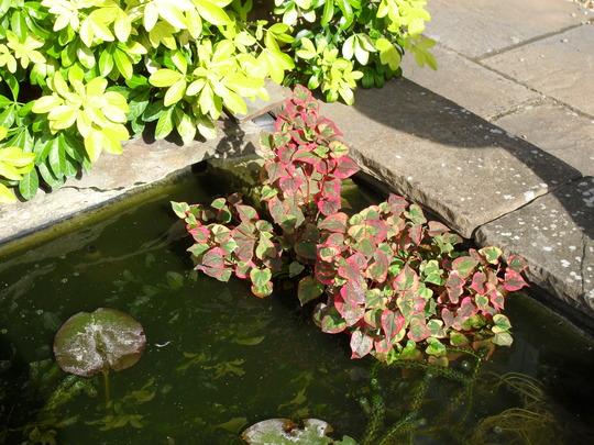 009.jpg  Houttuynia in the pond