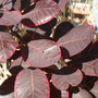 004.jpgclose-up of Cotinus
