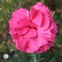 Last_tickled_pink_dianthus