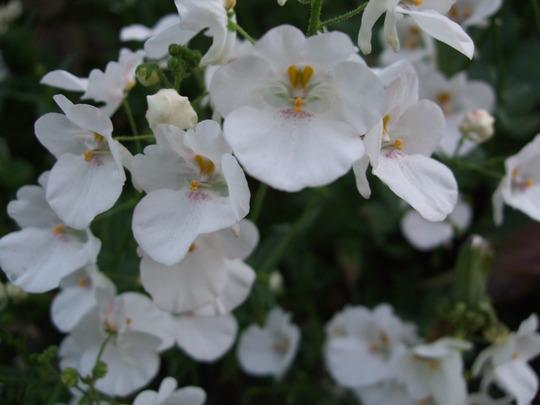 Diascia (white) (Diascia)