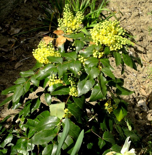 Mahonia on 10th April (Mahonia aquifolium (Oregon grape))