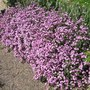 Tumberling Ted (Saponaria ocymoides (Tumbling Ted))