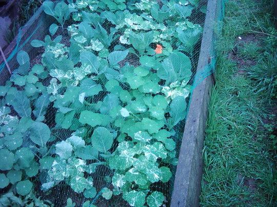 Autumn Cabbage. (Brassicaeae maritima)