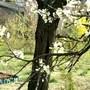 Plum blossom on old tree (blue plums)