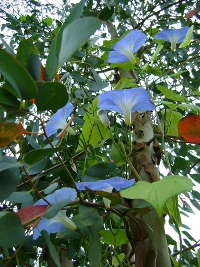 Morning Glorious up the Eucalyptus tree!