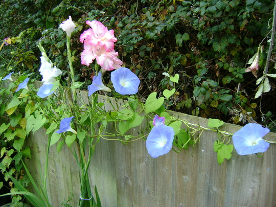 Morning glories along the fence!