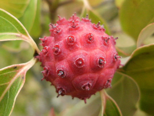 C.Kousa  Cornus ...    The seed fruits ..