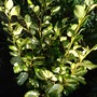Griselinia_littoralis_bantry_bay_